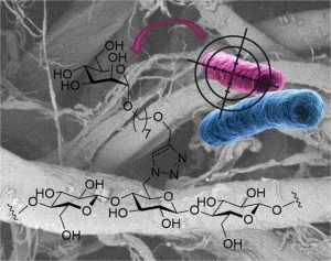 CORAIL - Heptylmannose-functionalized cellulose for the binding and specific detection of pathogenic E.coli